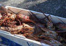Total de 22 kg de lagosta foram apreendidos às margens da BR-232 (Foto: Polícia Federal/Divulgação )